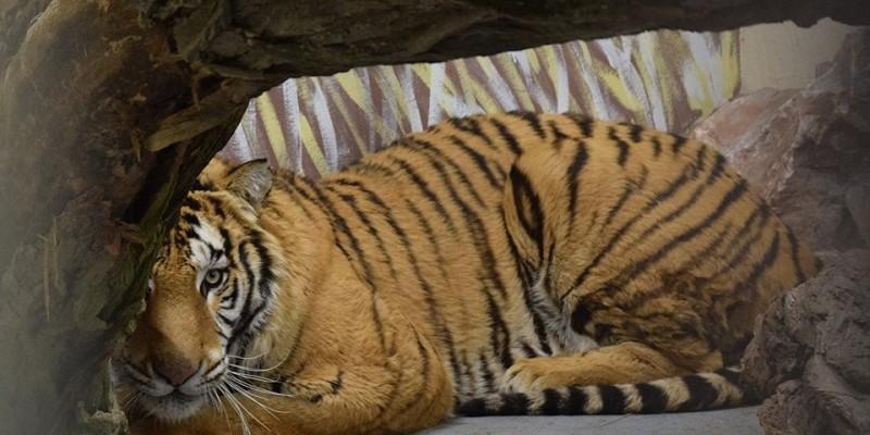 tygrysy poznanskie zoo
