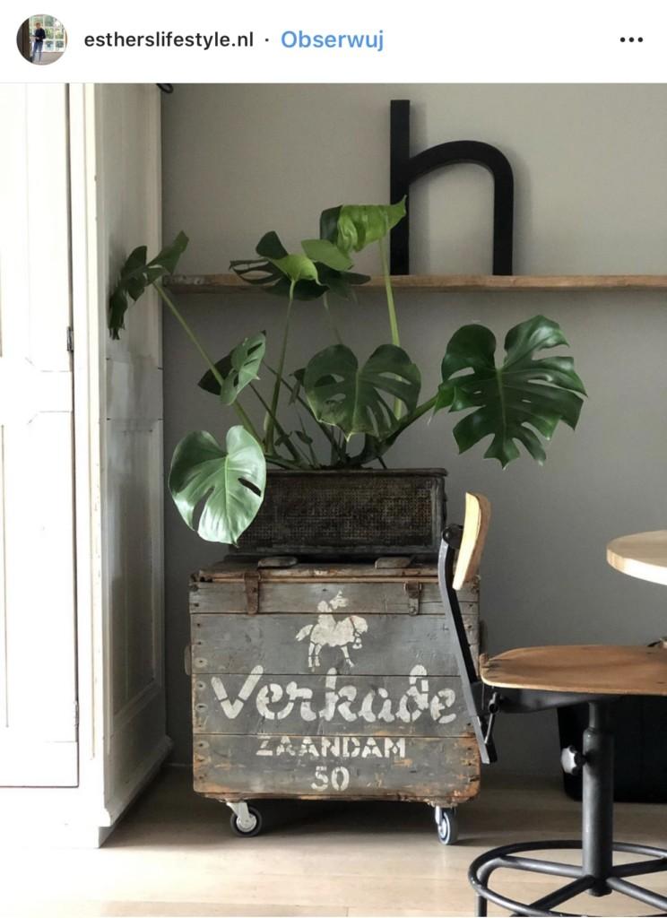 Monstera dziurawa - roślina, która podbija Instagram